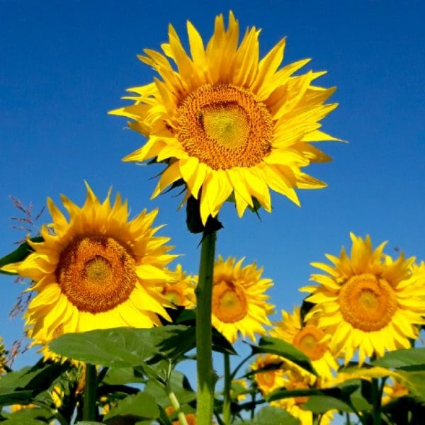 Beautiful Yellow Sunflower Field